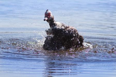 muscovy duck: Muscovy Duck in the grass