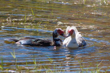 Muscovy Duck in Muscovy Ducks in the lake grass Stock fotó