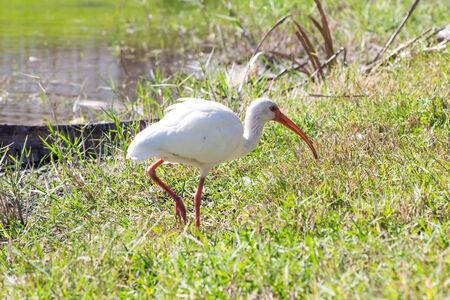 White Ibis in the lake Stock fotó