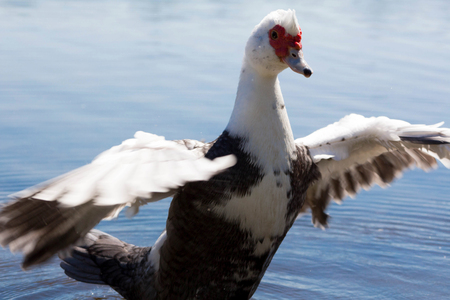 muscovy duck: Muscovy Duck in the lake Stock Photo