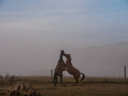 paddock: Two Brown horses fightig on a paddock, foggy background