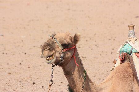 streifzug: Dromedar oder arabischen Camel