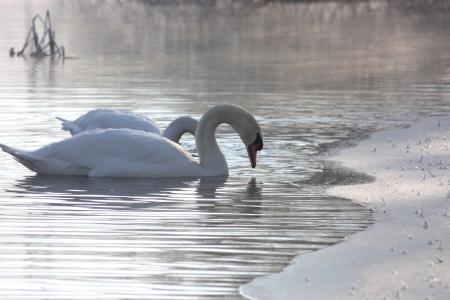 swan Stock Photo - 17500328