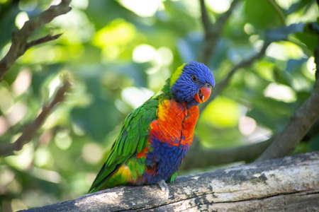 swainson lorikeet bird gold rainbow lorikeet