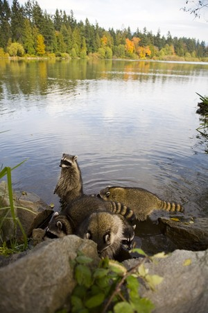 lost lake: racoon family resting in lake at the lost lagoon in vancouver