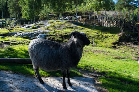 typically: Sheep on a farm. Typically norwegian old farm.