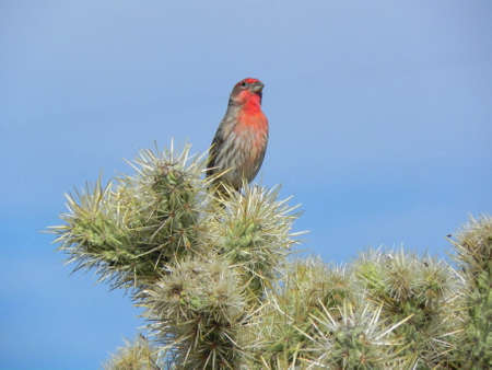 House finch on cactus in Quail Creek State Park in Utah Stock Photo - 9419693