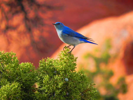 Mountain bluebird in Arches National Park in Utah Stock Photo