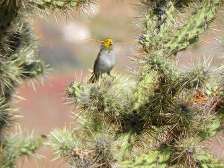 Verdin carrying nesting material in cactus in Quail Creek State Park in Utah Stock Photo - 9419709