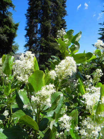 sawtooth national forest: White flowers in Sawtooth National Forest in Idaho
