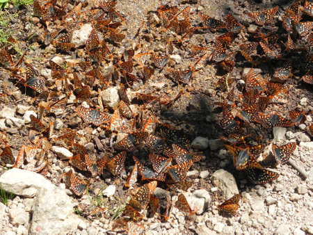 sawtooth national forest: Many butterflies feeding in Sawtooth National Forest in Idaho Stock Photo