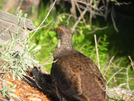 sawtooth national forest: Dusky Grouse in Sawtooth National Forest in Idaho