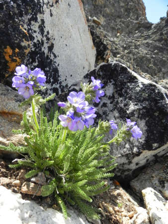 sawtooth national forest: Alpine flowers on Thompson Peak in the Sawtooth Wilderness in Idaho Stock Photo