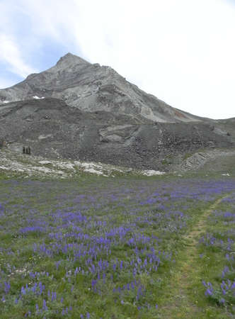 sawtooth national forest: Hyndman Peak and lupine field in Idaho Stock Photo