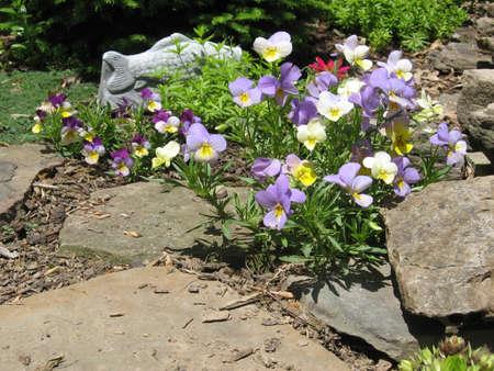 Viola tricolor flowers blooming