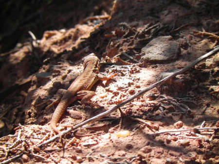 Lizard in Caprock Canyons State Park Texas photo