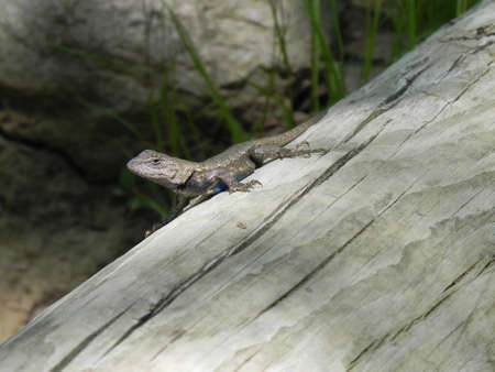 Lizard in Missouri