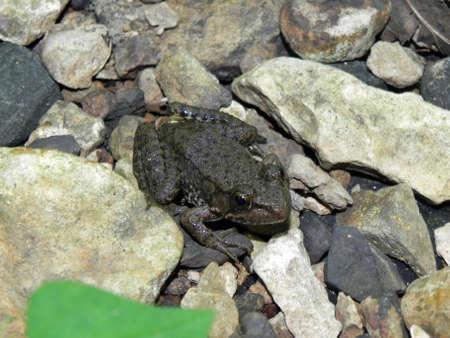 anuran: Frog in LaBarque Creek Conservation Area, Missouri