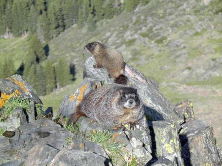 Yellow-bellied marmots on Wheeler Peak                  Stock Photo