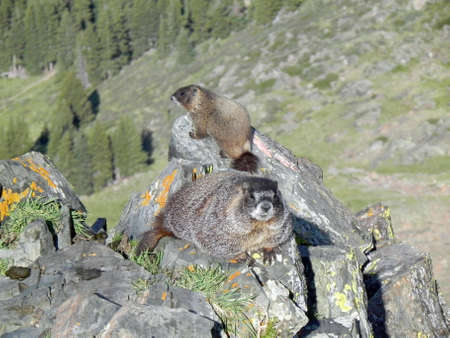 Yellow-bellied marmots on Wheeler Peak                  Stock Photo