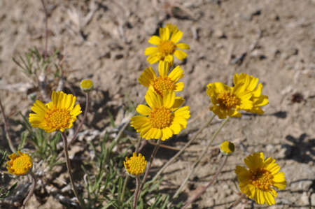 duro: Yellow flowers in Palo Duro Canyon State Park, Texas Stock Photo