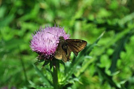 mococa: Moth on a thistle in Tyson Research Center, Missouri