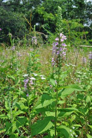 wild mint: Wild mint blooming in Tyson Research Center, Missouri