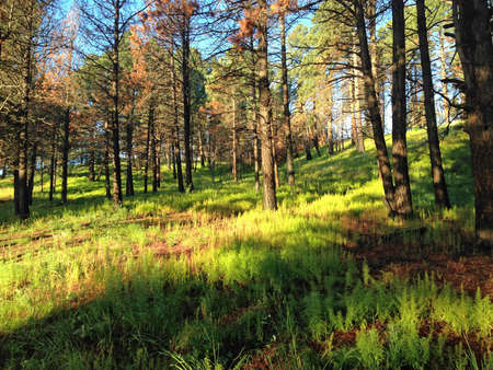 Regrown understory in Lincoln National Forest in New Mexico
