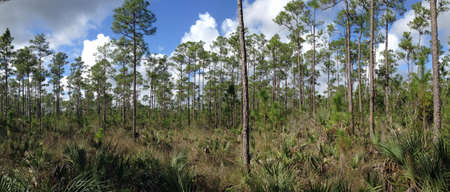 Pinelands in Everglades National Park in Florida Stockfoto