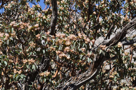 Texas madrone flowers in Guadalupe Mountains National Park, Texas photo