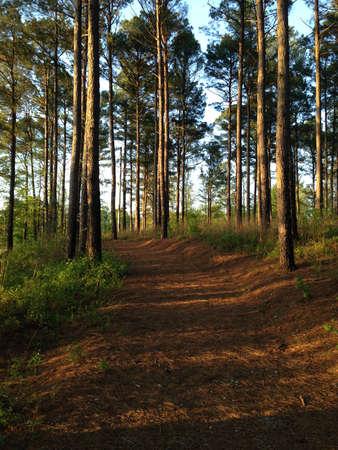 national forest: Camino a trav�s del bosque de pinos en Holly Springs National Forest, Mississippi Foto de archivo