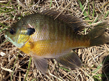 Bluegill at the University of Mississippi Field Station photo