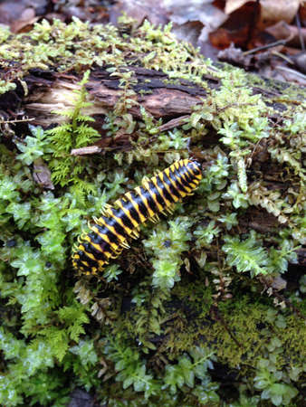 smoky: Millipede in Great Smoky Mountains, Tennessee Stock Photo