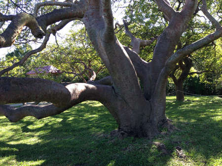 Large old tree in DeSoto National Memorial, Florida Stock Photo