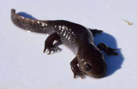 salamandre: Adulte salamandre molaire dans le Mississippi Banque d'images