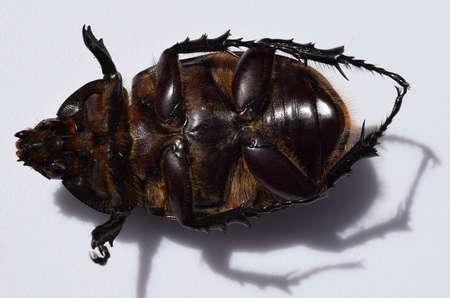 hercules: Bottom of an eastern Hercules beetle in Mississippi
