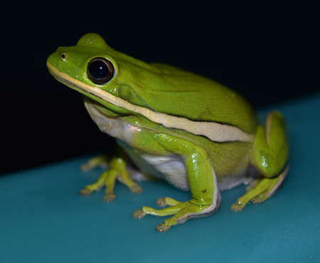 treefrog: Male green treefrog in Mississippi
