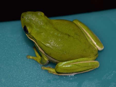 hyla: Green treefrog in Mississippi