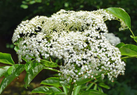mississippi: Elderberry flowers in Mississippi Stock Photo