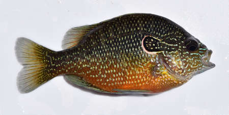 sunfish: Longear sunfish in Mississippi