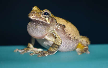 mississippi: Calling gray treefrog in Mississippi Stock Photo