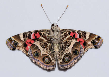 american butterflies: Bottom of an American painted lady butterfly