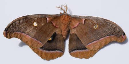 moth: Polyphemus moth in Mississippi
