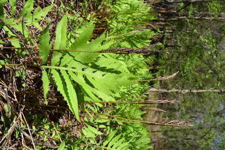 Sensitive fern in Mississippi Stock Photo