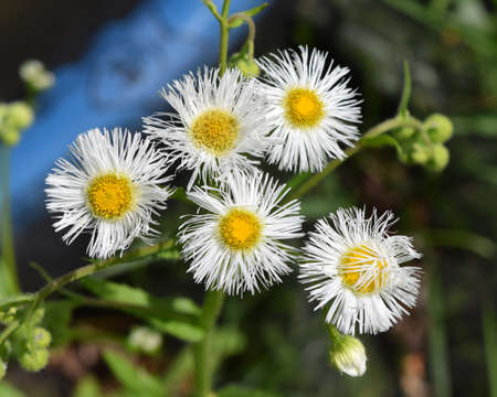 Common fleabane flowers in Mississippi