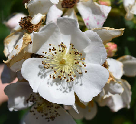 mississippi: Multiflora rose flower in Mississippi