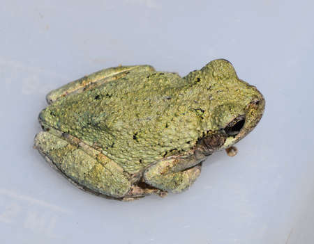 gray: Gray treefrog in Mississippi Stock Photo