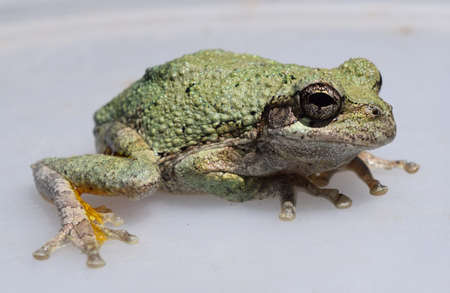 Adult gray treefrog