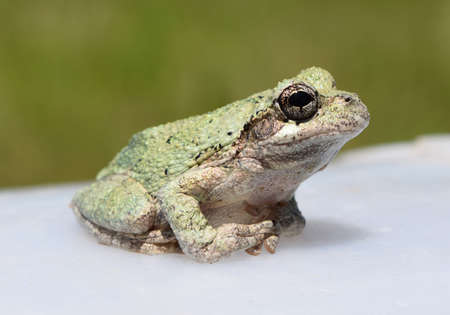 mississippi: Copes gray treefrog in Mississippi Stock Photo