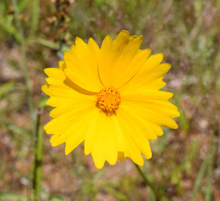 Lance-leaved coreopsis flower in Mississippi